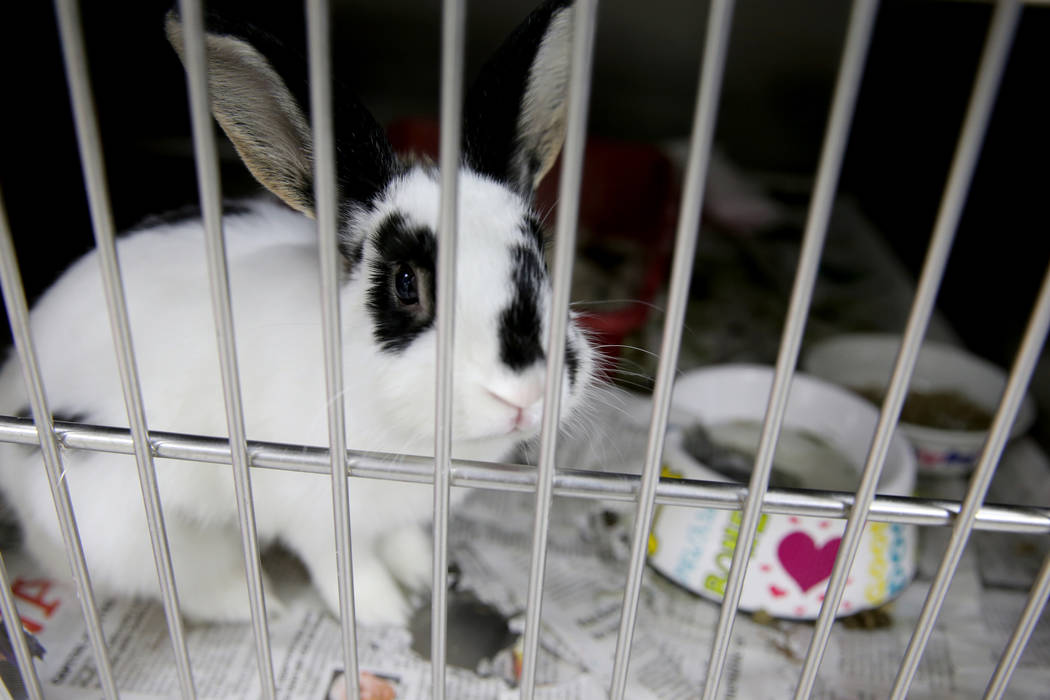 A 3-year-old short hair rabbit waits to be adopted at Henderson Animal Care and Control, Tuesday, July 24, 2018. K.M. Cannon Las Vegas Review-Journal @KMCannonPhoto