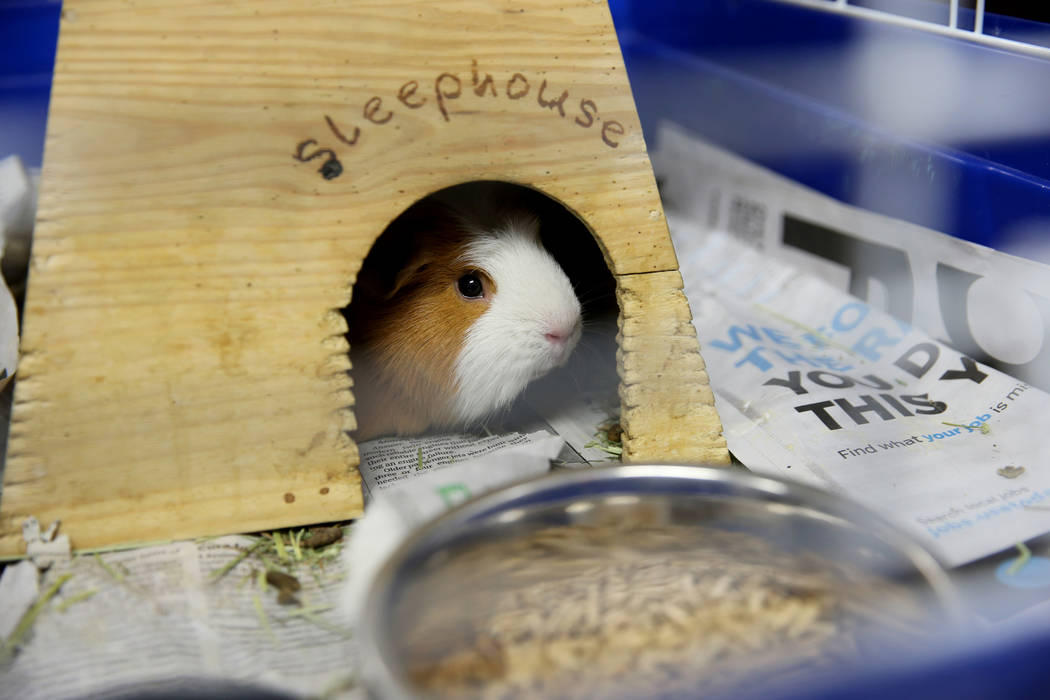 A 1-year-old guinea pig waits to be adopted at Henderson Animal Care and Control, Tuesday, July 24, 2018. K.M. Cannon Las Vegas Review-Journal @KMCannonPhoto