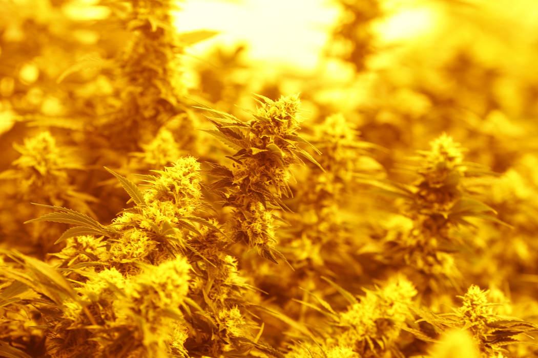 A marijuana plant is shown under grow lights at the Colorado Harvest Company in Denver in 2017. (AP Photo/David Zalubowski)