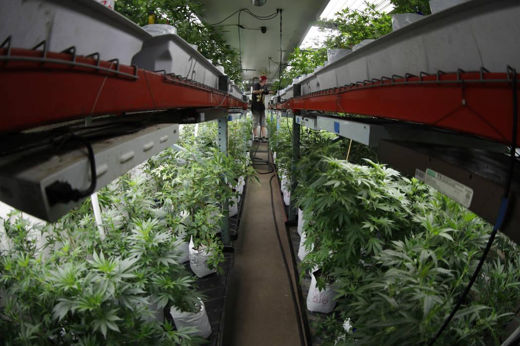 A worker waters marijuana plants at the Colorado Harvest Company in Denver in 2017. (AP Photo/David Zalubowski)