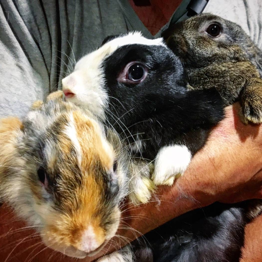 Bunny babies enjoying a group cuddle with a volunteer. (All Creatures Sanctuary)