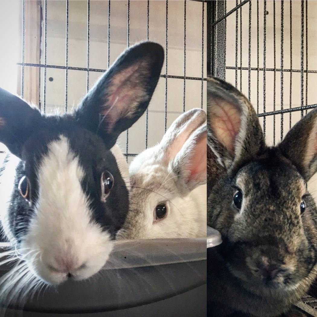 Hazel, Baileys and Theodore await adoption in the sanctuary's bunny house. (All Creatures Sanctuary)