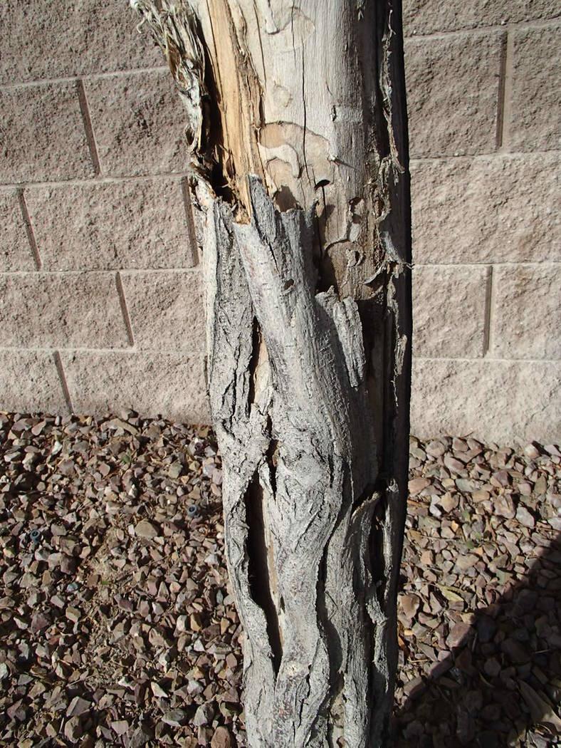 This locust tree shows borer damage. (Bob Morris)