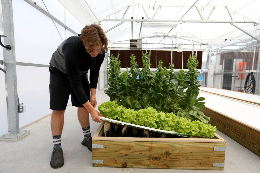 Senior Zac McPherson, 17, shows wet roots from lettuce grown in a hydroponic system in Williams Research Greenhouse at Faith Lutheran Middle School and High School in Las Vegas Friday, Aug. 10, 20 ...