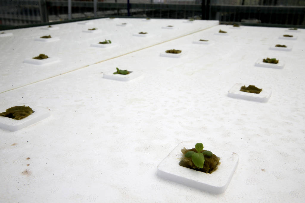 Lettuce is grown in a raft system in Williams Research Greenhouse in Williams Research Greenhouse at Faith Lutheran Middle School and High School in Las Vegas Friday, Aug. 10, 2018. K.M. Cannon La ...