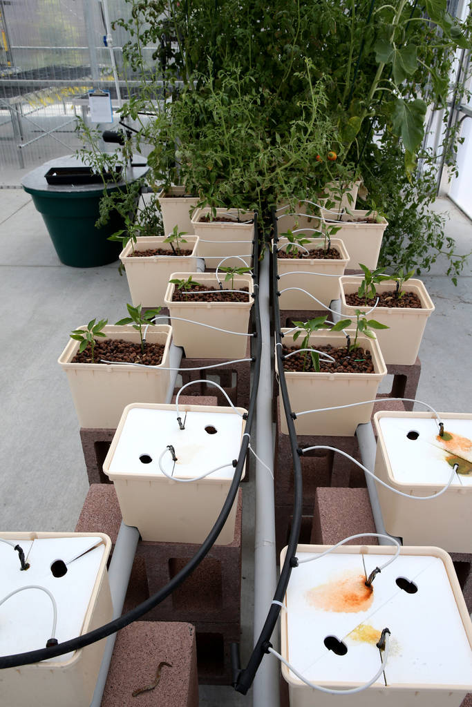 Bato buckets used for growing in Williams Research Greenhouse at Faith Lutheran Middle School and High School in Las Vegas Friday, Aug. 10, 2018. K.M. Cannon Las Vegas Review-Journal @KMCannonPhoto