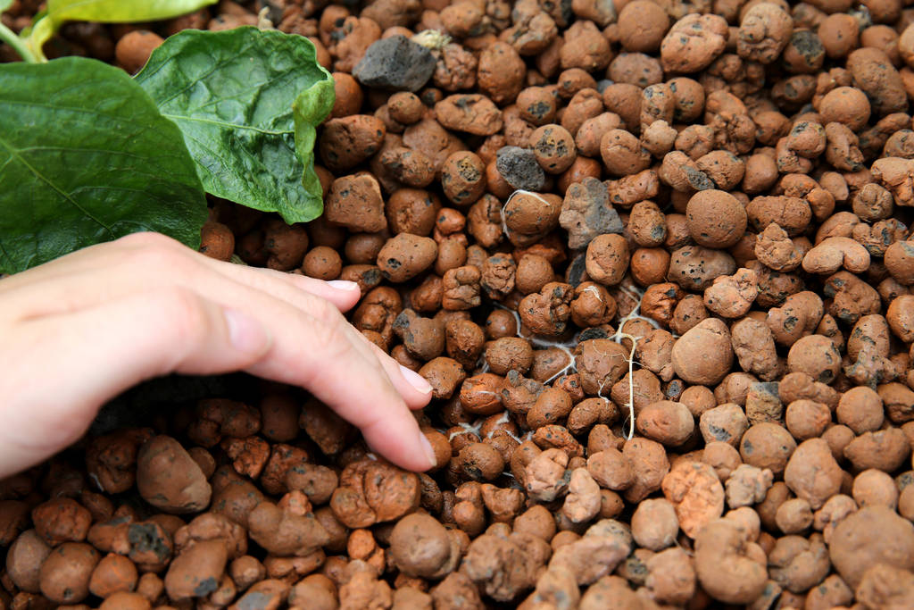 Faith Lutheran Middle School and High School graduate Lauren Carter, 18, moves clay rocks to show roots growing in a media bed in Williams Research Greenhouse at the Las Vegas school Friday, Aug. ...
