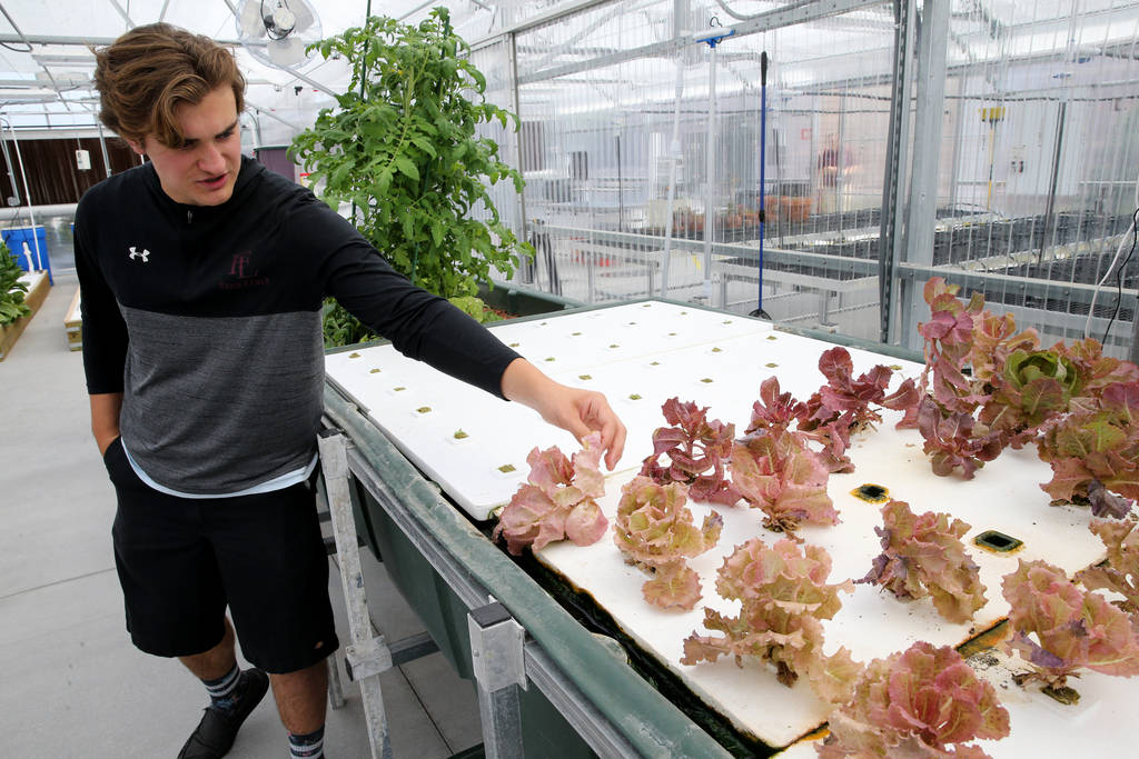 Senior Zac McPherson, 17, shows lettuce growing in a raft system Faith Lutheran Middle School and High School in Las Vegas Friday, Aug. 10, 2018. K.M. Cannon Las Vegas Review-Journal @KMCannonPhoto