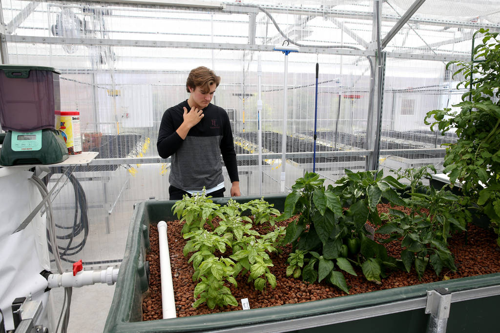 Senior Zac McPherson, 17, shows basil, peppers and tomatoes grown in a media bed in Williams Research Greenhouse at Faith Lutheran Middle School and High School in Las Vegas Friday, Aug. 10, 2018. ...