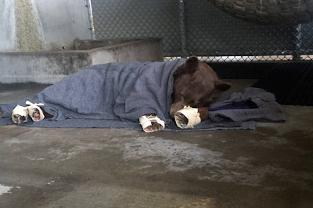 The bear rests in her holding enclosure after her treatment is finished. The outer wrapping on her feet (made of corn husks) will delay her efforts to chew off the tilapia skin bandages underneath ...