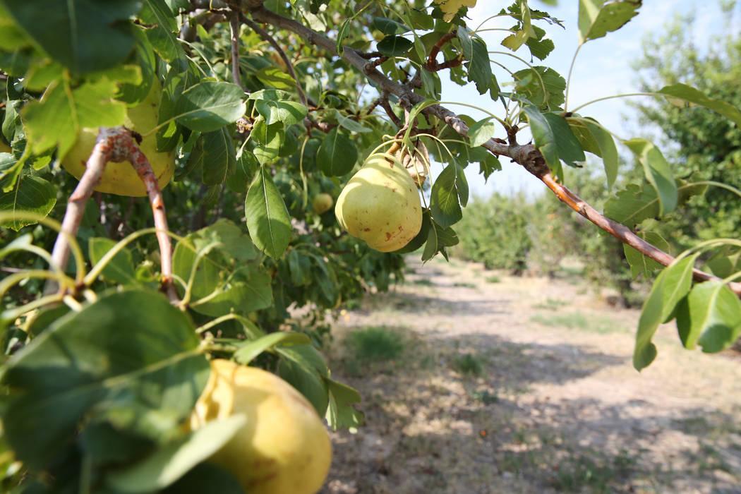 A pear tree at Gilcrease Orchard in Las Vegas, Saturday, Aug. 11, 2018. Erik Verduzco Las Vegas Review-Journal @Erik_Verduzco