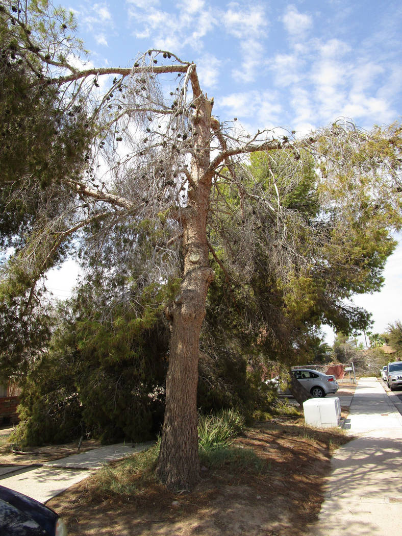 Yards away from a tree uprooted Saturday night, another tree is snapped halfway up the trunk in east Las Vegas near Charleston Boulevard and Nellis Boulevard on Sunday, August 12, 2018. (Greg Haas ...