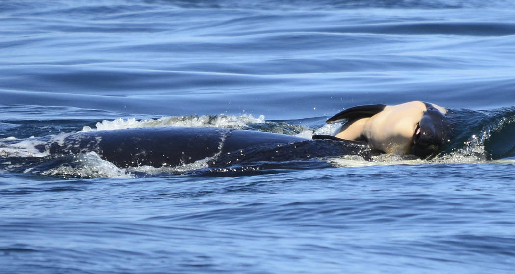 In this photo taken Tuesday, July 24, 2018, provided by the Center for Whale Research, a baby orca whale is being pushed by her mother after being born off the Canada coast near Victoria, British ...