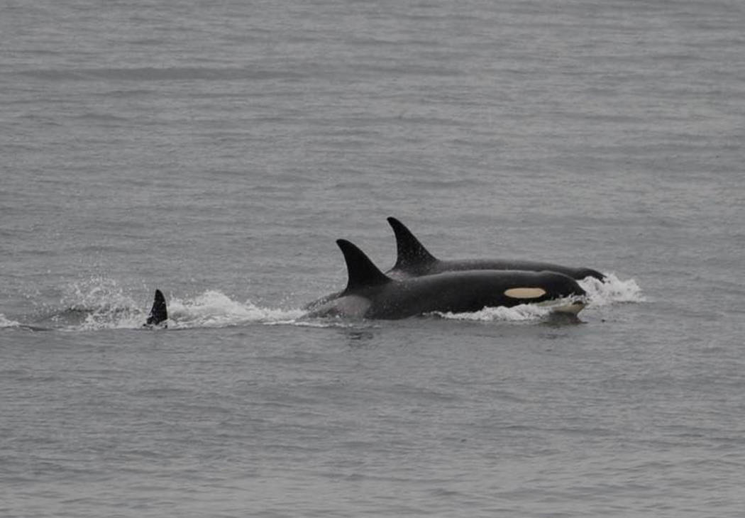 In this Saturday, Aug. 11, 2018, photo released by the Center for Whale Research, an orca, known as J35, foreground, swims with other orcas near Friday Harbor, Alaska. Researchers said J-35 an end ...