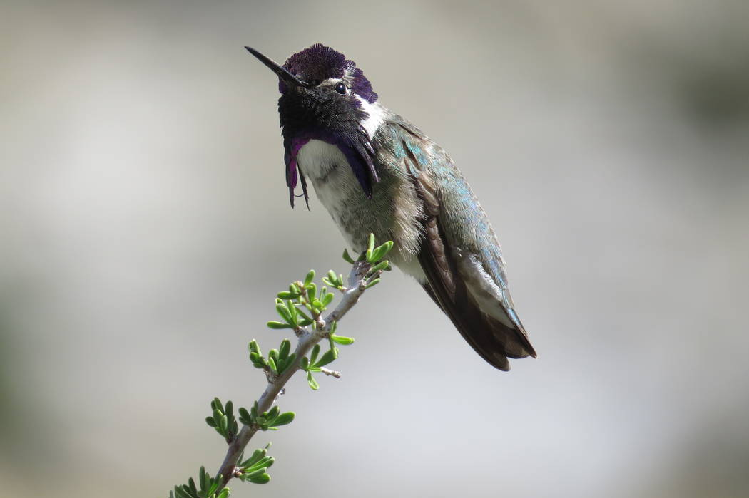 A Costa's hummingbird perches at Mojave National Preserve in an undated photo. Chelsea Hofmeier