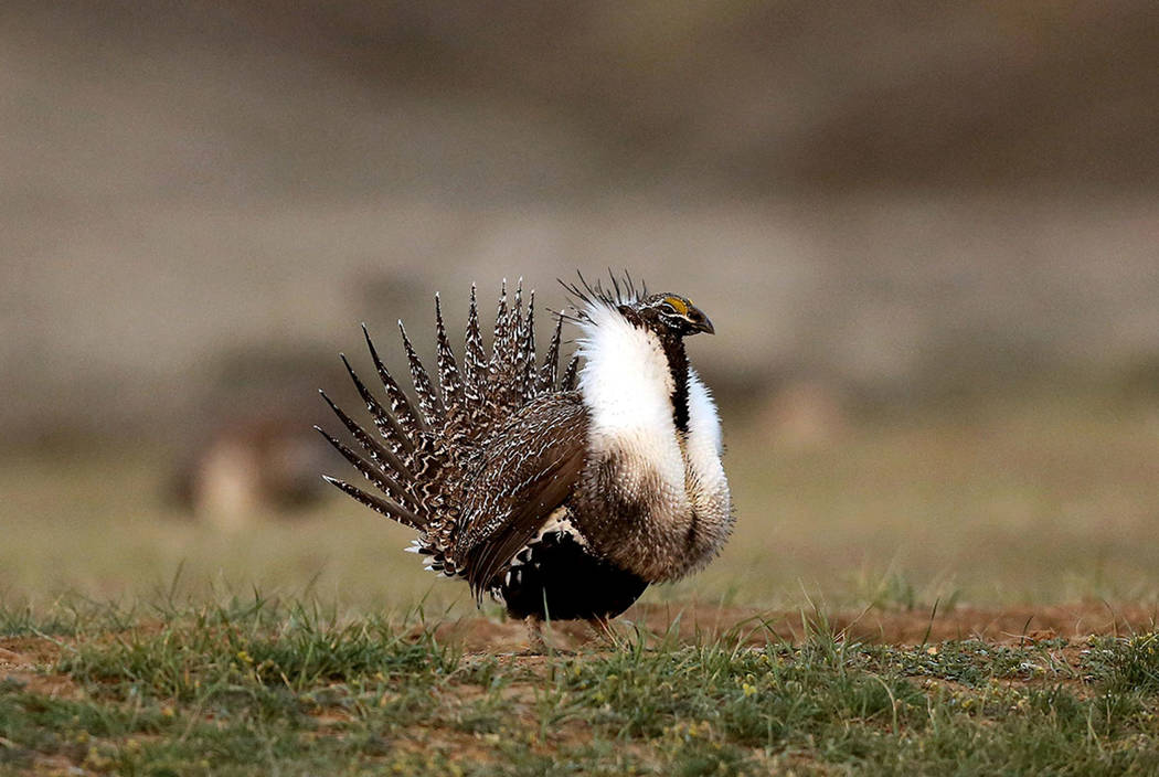 A male sage grouse struts in the early morning hours outside Baggs, Wyo., in 2015. (Dan Cepeda /The Casper Star-Tribune via AP, File)
