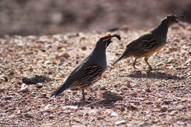 Gambel's Quail male and female at Lake Mead. (Natalie Burt/Special to the Las Vegas Review-Journal)