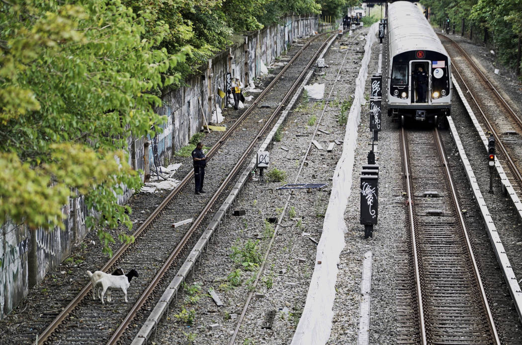 In this Monday, Aug. 20, 2018 photo provided by the New York City Transit, goats stand on the subway tracks in the Brooklyn borough of New York. Jon Stewart has made a home for the two goats found ...