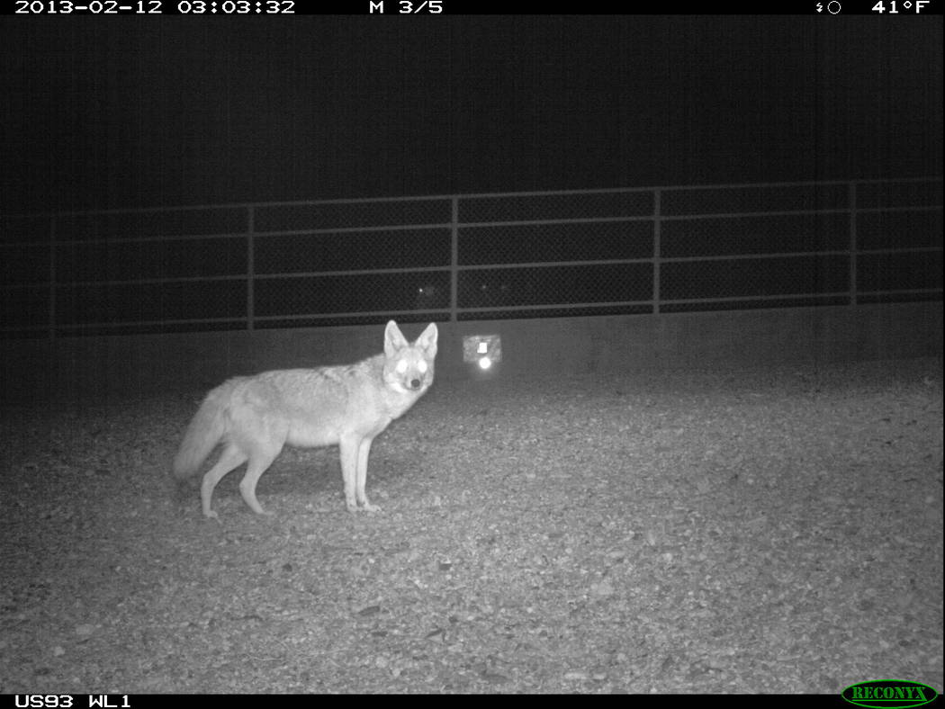 A motion-sensitive camera catches a coyote crossing a wildlife bridge over U.S. Highway 93 in Arizona east of Hoover Dam in an undated photo. Arizona Game and Fish Department