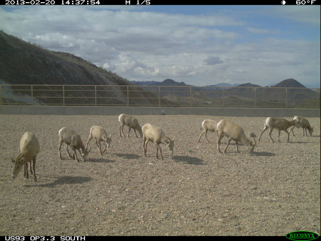 A herd of desert bighorn sheep grazes its way over U.S. Highway 93 in Arizona east of Hoover Dam using one of three wildlife bridges opened in 2011. Arizona Game and Fish Department