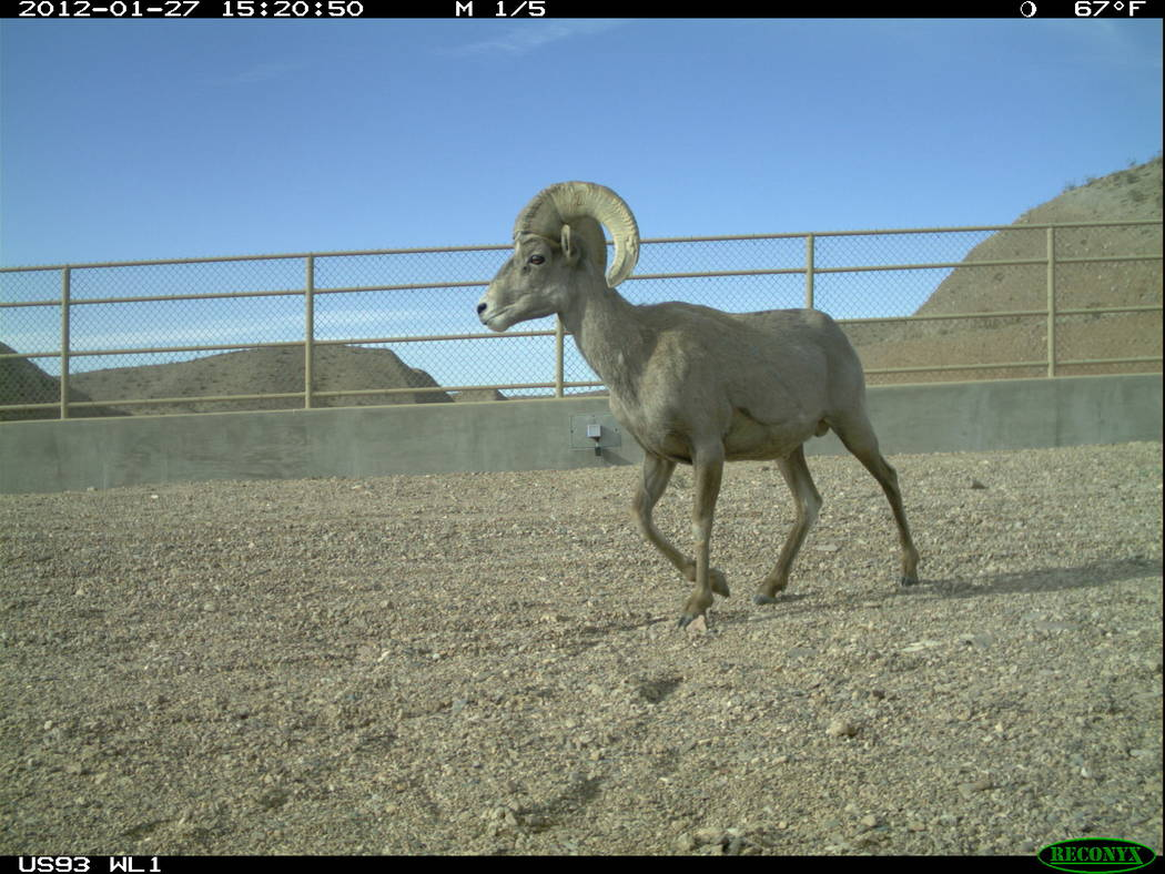A bighorn ram walks across a wildlife bridge over U.S. Highway 93 in Arizona east of Hoover Dam in an undated photo. Arizona Game and Fish Department