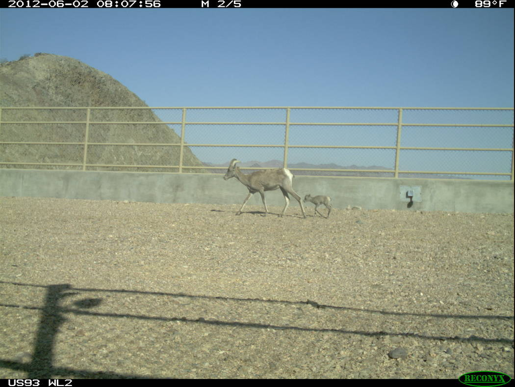 A bighorn ewe and lamb cross a wildlife bridge over U.S. Highway 93 in Arizona east of Hoover Dam in an undated photo captured by an automated, motion-sensitive camera. Arizona Game and Fish Depar ...