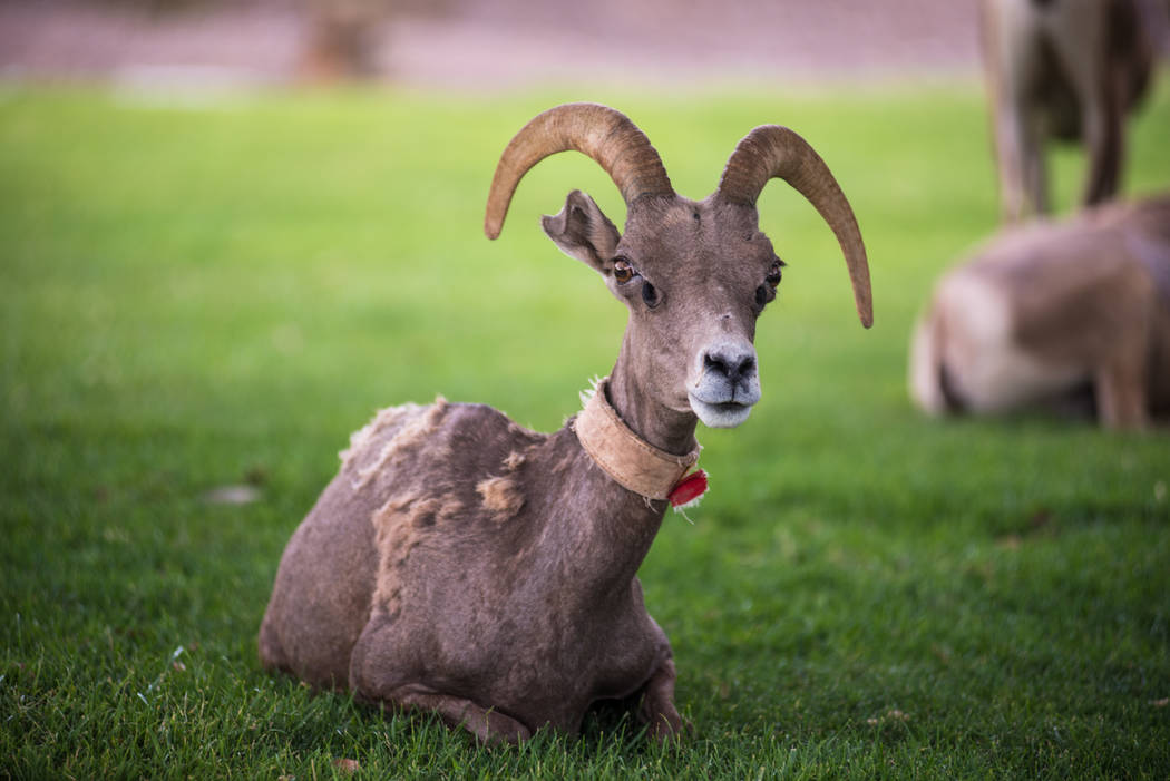 A Bighorn sheep at Hemenway Park on Tuesday, July 18, 2017, in Boulder City. Morgan Lieberman Las Vegas Review-Journal