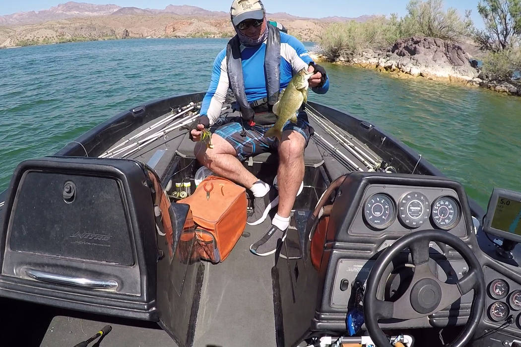 During a recent outing on Lake Mohave, Roger Williams caught this smallmouth bass and other fish while throwing a spinnerbait near points outside of coves. (Doug Nielsen)