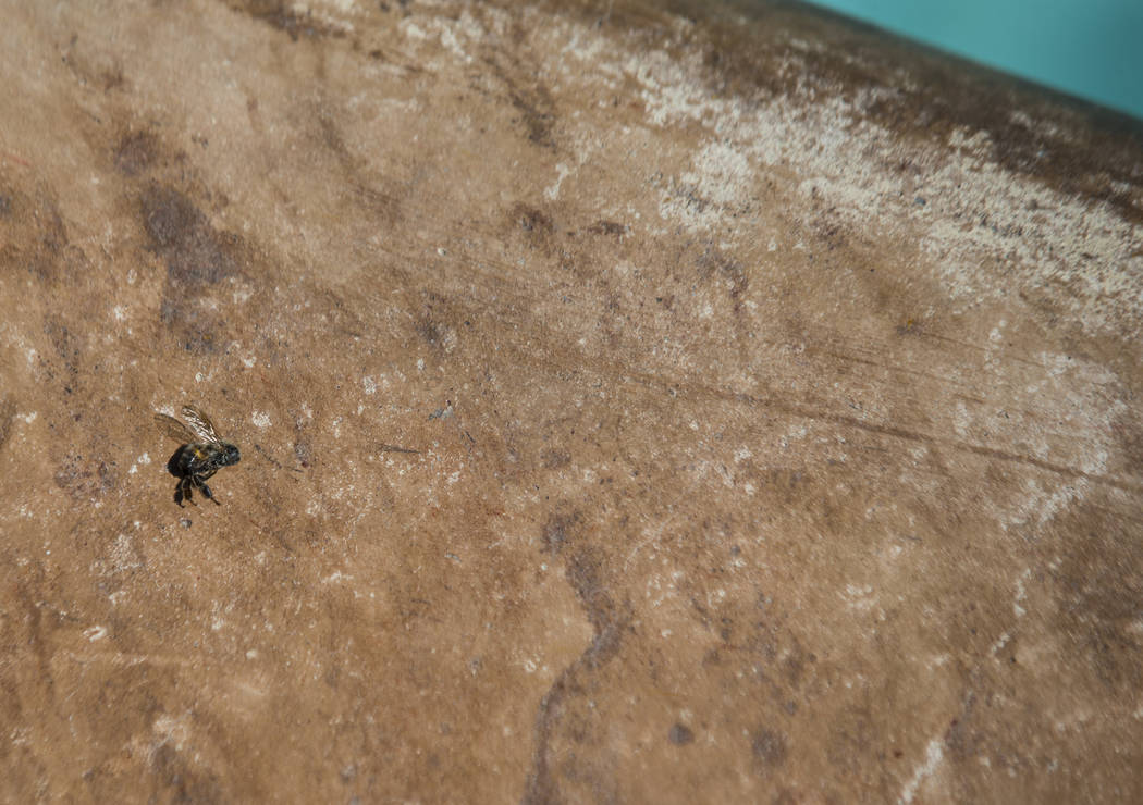 A dead bee near the swimming pool at the home of Brandon Hulet in Henderson on Thursday, Aug. 23, 2018. Hulet's son has been stung by bees multiple times in the family's backyard. Chase Stevens La ...