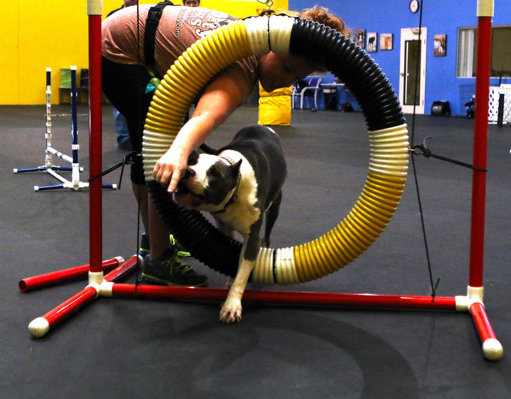 Milo, an eight-year-old pitbull, jumps through a hoop at a training course at Pawtastic Friends in Las Vegas as his trainer Shannon McDonald looks on, Tuesday, July 10, 2018. Heidi Fang Las Vegas ...