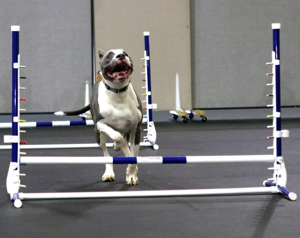 Milo, an 8-year-old pitbull, jumps over hurdles at a training course at Pawtastic Friends in Las Vegas, Tuesday, July 10, 2018. Heidi Fang Las Vegas Review-Journal @HeidiFang
