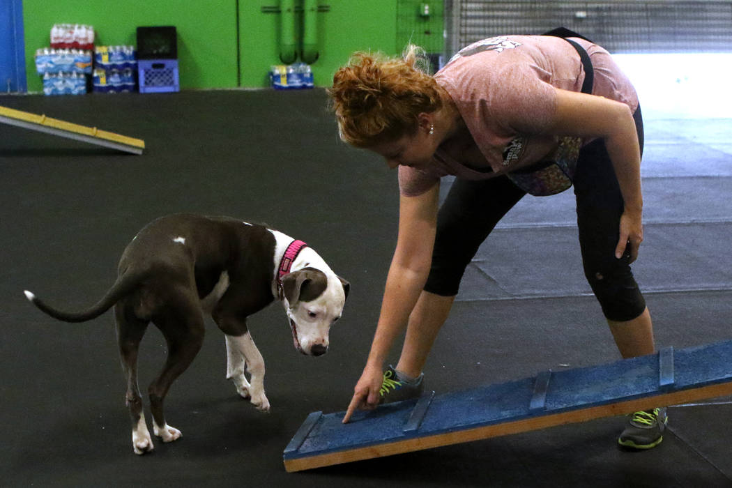 Winnie, a rescue pitbull, prepares to go up a walkway with his trainer Shannon McDonald at a training course at Pawtastic Friends in Las Vegas, Tuesday, July 10, 2018. Heidi Fang Las Vegas Review- ...