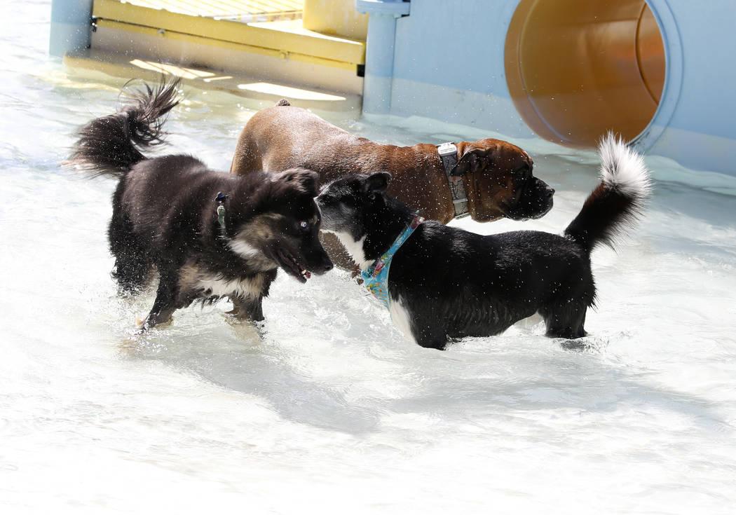 "Dogs enjoy the annual ""Dog Daze of Summer"" event at Desert Breeze Aquatics Facility on Saturday, Sept. 1, 2018, in Las Vegas. (Bizuayehu Tesfaye/Las Vegas Review-Journal) @bizutesfaye"