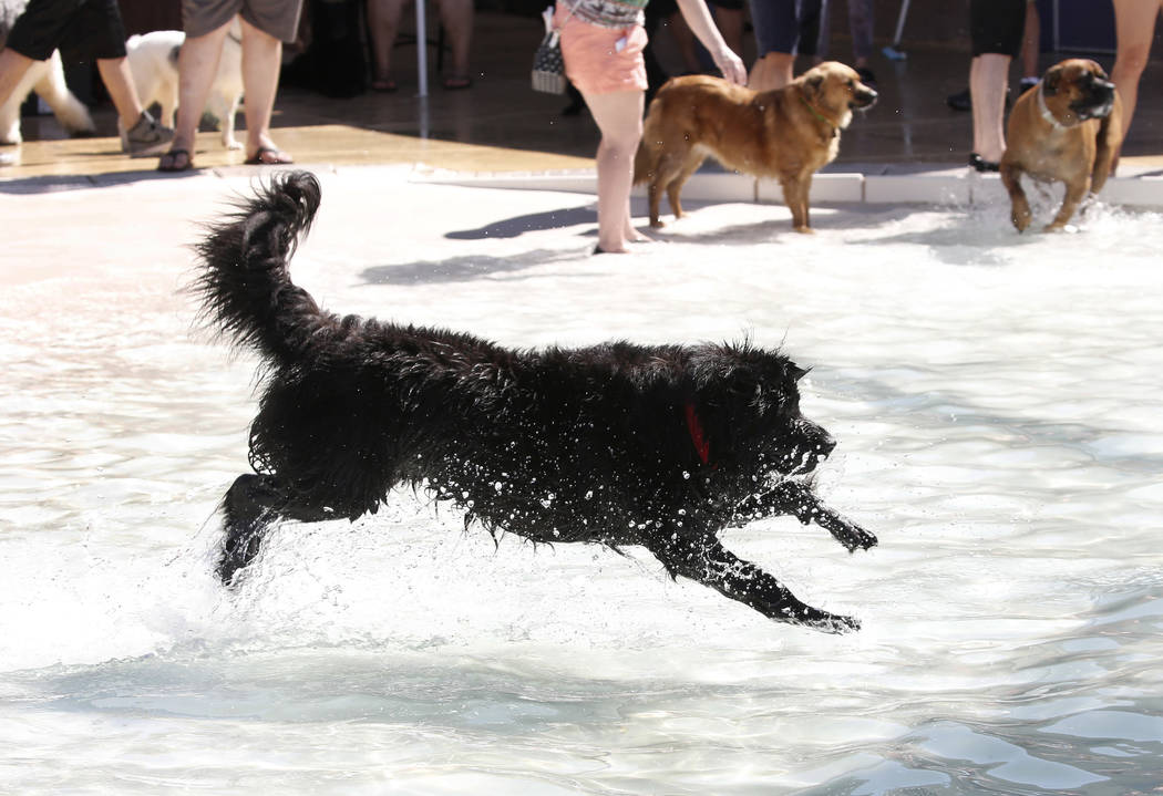 "Three-year-old Zeek jumps into the water during the annual ""Dog Daze of Summer"" event at Desert Breeze Aquatics Facility on Saturday, Sept. 1, 2018, in Las Vegas. (Bizuayehu Tesfaye/ ..."