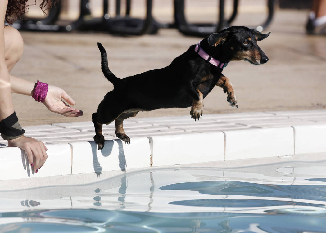 "Seven-year-old Dachshund, Cika, jumps into the water during the annual ""Dog Daze of Summer"" event at Desert Breeze Aquatics Facility on Saturday, Sept. 1, 2018, in Las Vegas. (Bizuay ..."