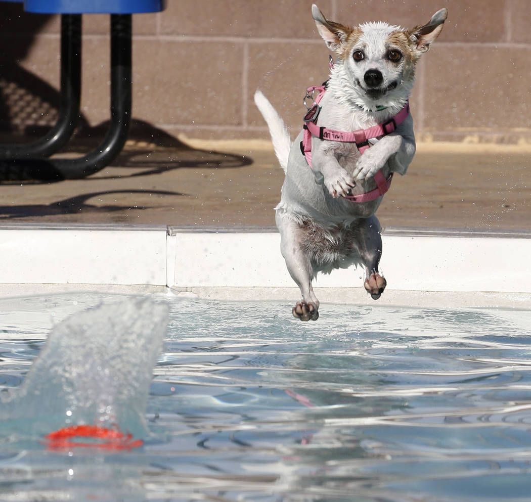 "Mini jumps into the water to recover her frisbee during the annual ""Dog Daze of Summer"" event at Desert Breeze Aquatics Facility on Saturday, Sept. 1, 2018, in Las Vegas. (Bizuayehu ..."
