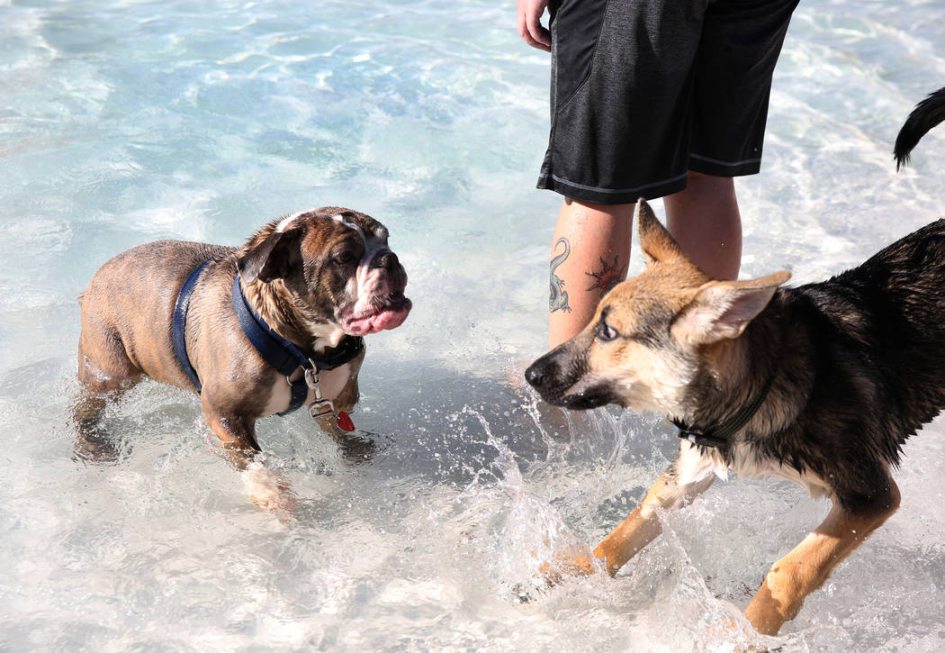 "Two-year-old English bulldog, Harry, left, plays with a German shepherd during the annual ""Dog Daze of Summer"" event at Desert Breeze Aquatics Facility on Saturday, Sept. 1, 2018, in ..."