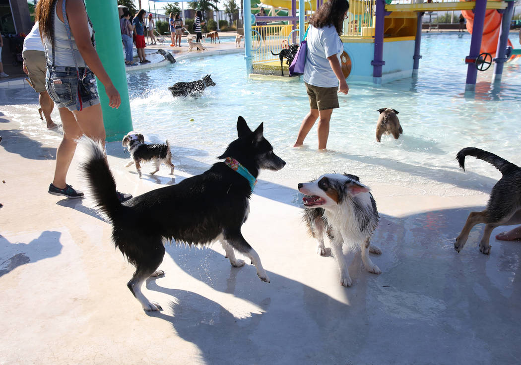 "Dogs play during the annual ""Dog Daze of Summer"" event at Desert Breeze Aquatics Facility on Saturday, Sept. 1, 2018, in Las Vegas. (Bizuayehu Tesfaye/Las Vegas Review-Journal) @bizu ..."