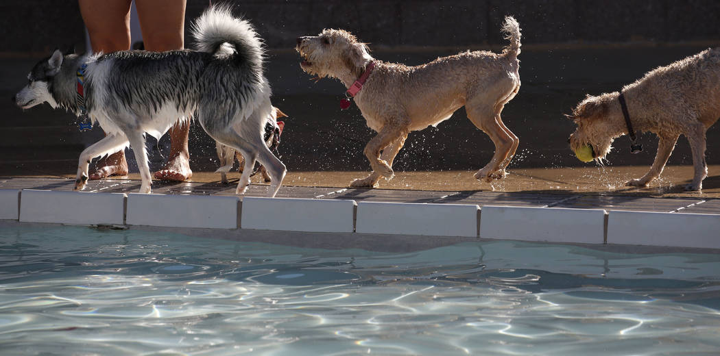 "Dogs lined up to jump into the water during the annual ""Dog Daze of Summer"" event at Desert Breeze Aquatics Facility on Saturday, Sept. 1, 2018, in Las Vegas. (Bizuayehu Tesfaye/Las Vega ..."