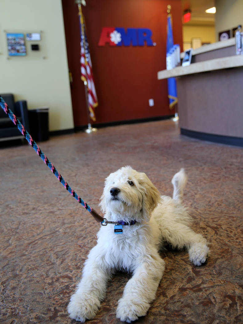 Mercy, a therapy dog in training, at American Medical Response and MedicWest headquarters in Las Vegas Wednesday, Sept. 5, 2018. K.M. Cannon Las Vegas Review-Journal @KMCannonPhoto