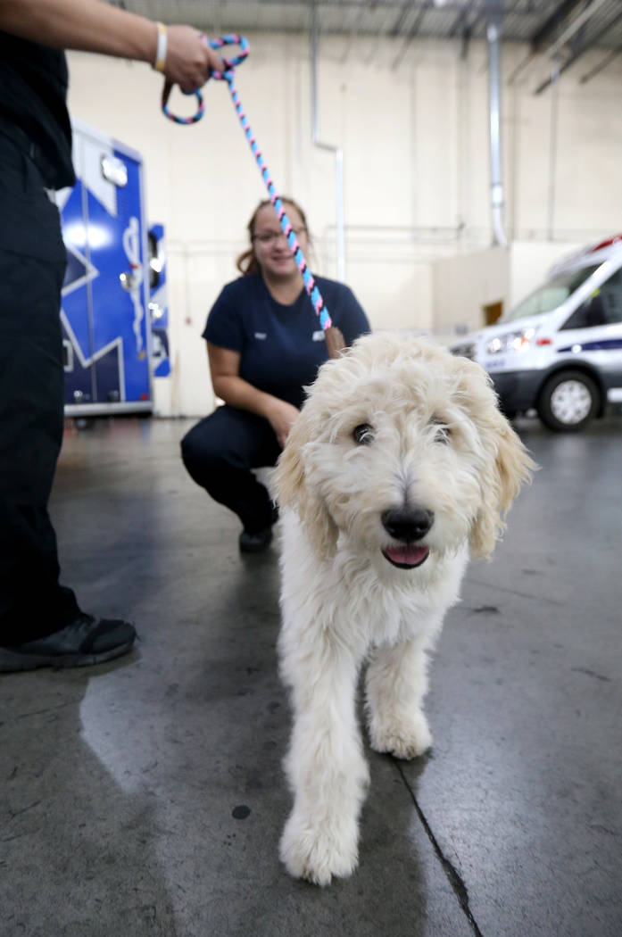Mercy, a therapy dog in training, visits with Vehicle Service Technician Gianna Venezia at American Medical Response and MedicWest headquarters in Las Vegas Wednesday, Sept. 5, 2018. K.M. Cannon L ...