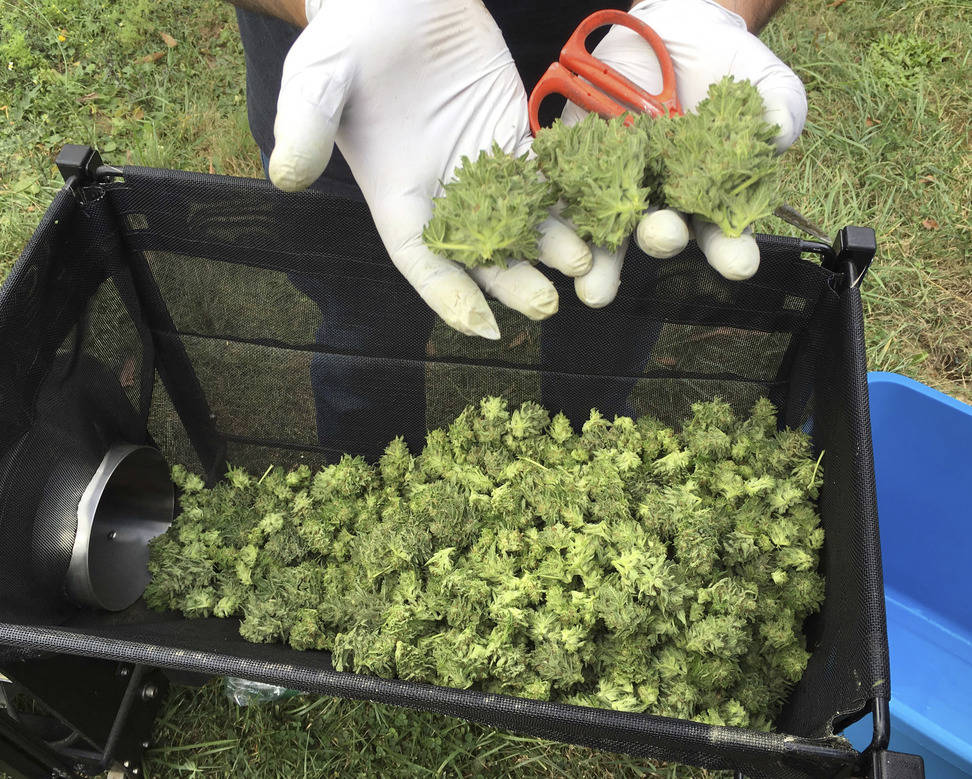 A marijuana harvester examines buds going through a trimming machine near Corvallis, Ore., in 2016. (AP Photo/Andrew Selsky)