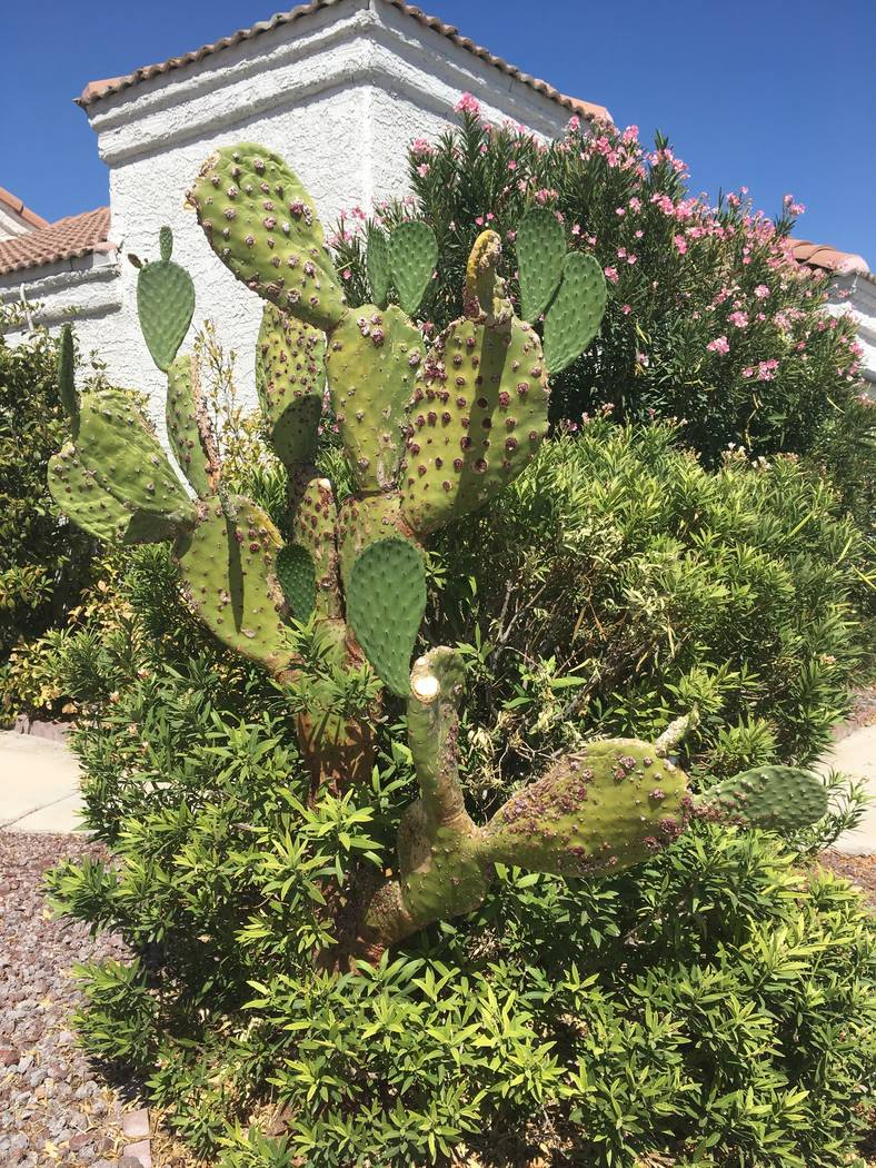 Bob Morris The damage to these cactus pads was done by an insect called cochineal scale.