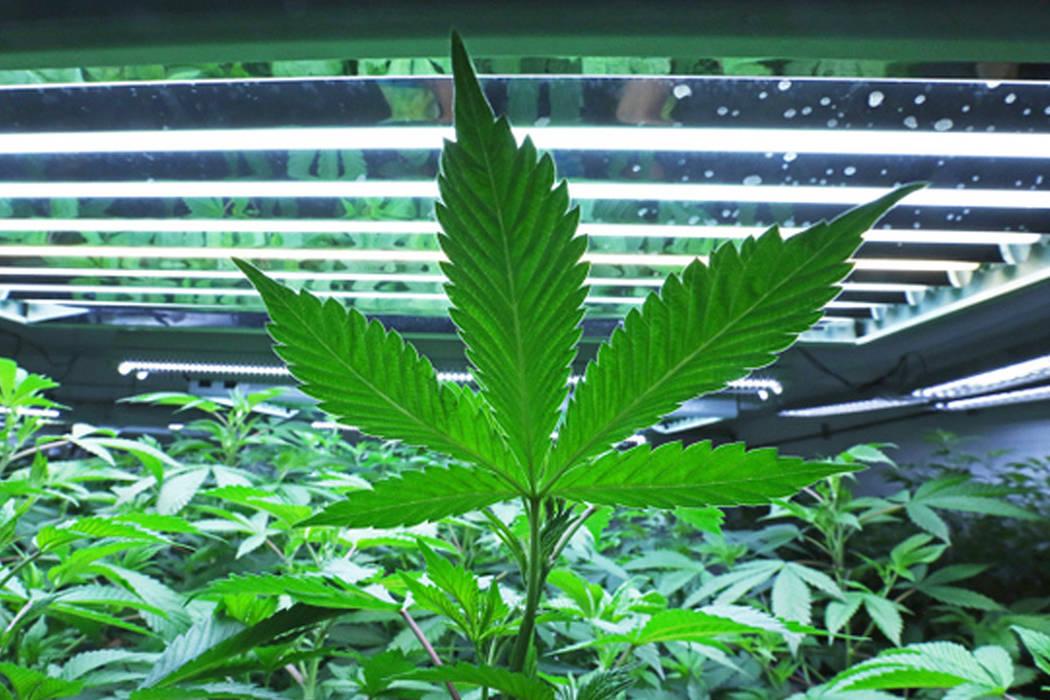 A marijuana leaf (Associated Press)