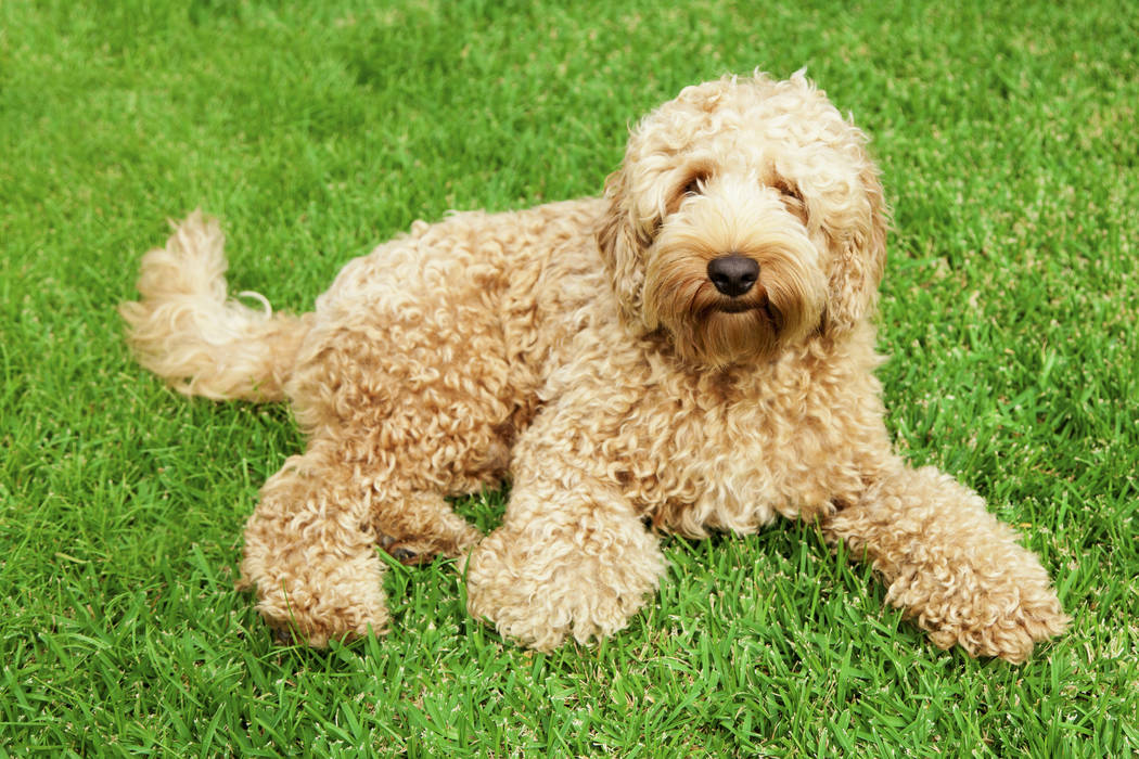Labradoodle (Getty Images)