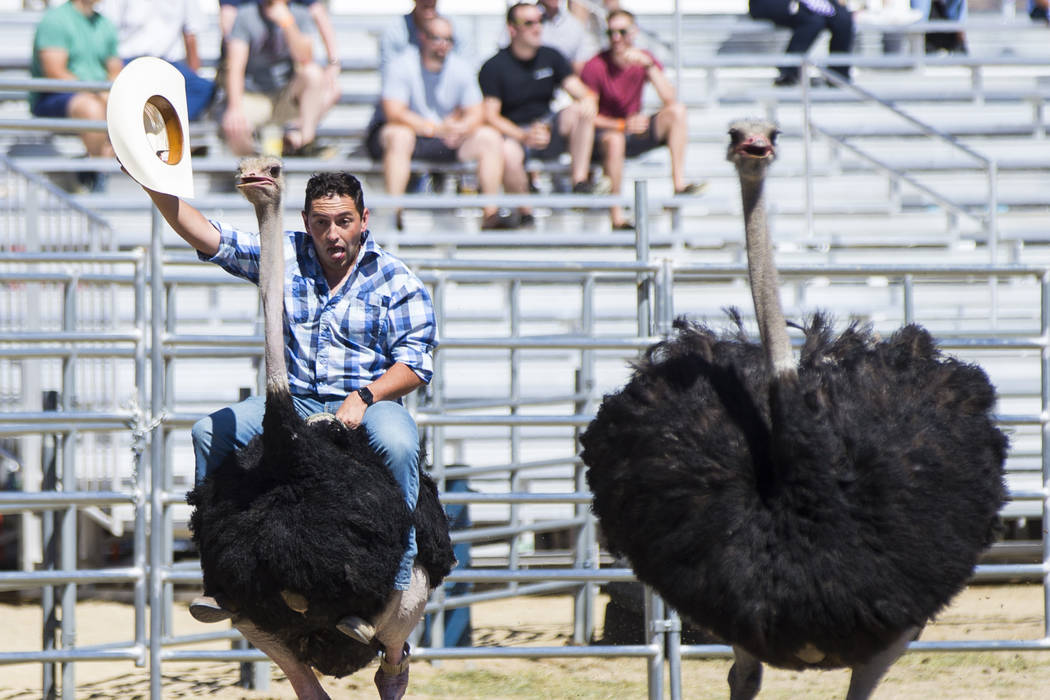 Blake Zacarias of Reno races on an ostrich during the first day of the 59th annual International Camel & Ostrich Races in Virginia City on Friday, Sept. 7, 2018. Chase Stevens Las Vegas Review-Jou ...