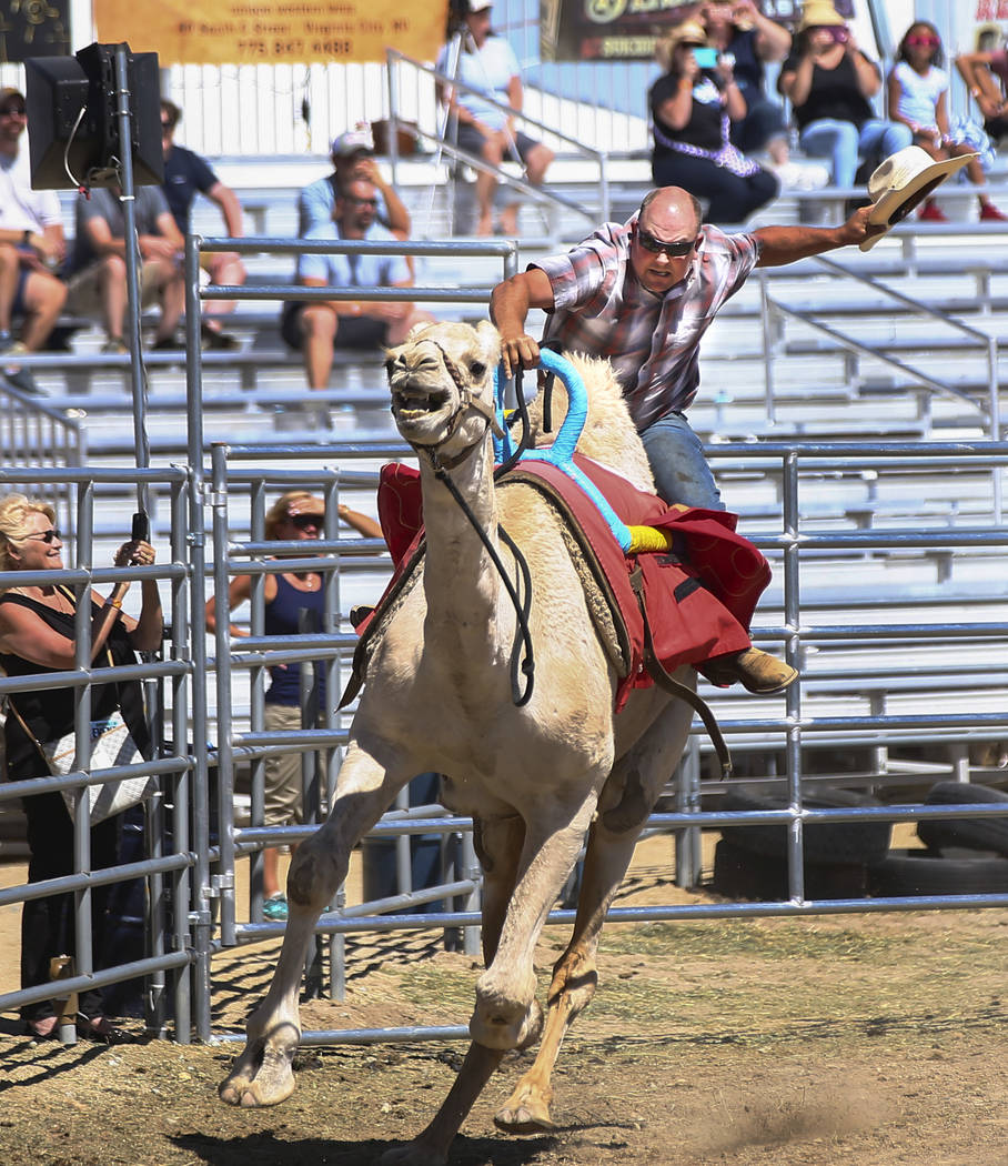 Ryan Gillaspie of Amador County, Calif., races a camel during the first day of the 59th annual International Camel & Ostrich Races in Virginia City on Friday, Sept. 7, 2018. Chase Stevens Las Vega ...
