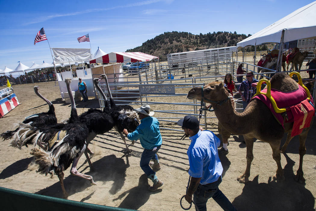 Animal handlers try to corral ostriches during the first day of the 59th annual International Camel & Ostrich Races in Virginia City on Friday, Sept. 7, 2018. Chase Stevens Las Vegas Review-Journa ...