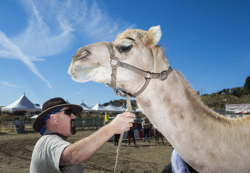 Steve Langelo of the Hendrick Exotic Animal Farm stands with camel Nixon while waiting to give rides during the first day of the 59th annual International Camel & Ostrich Races in Virginia City on ...