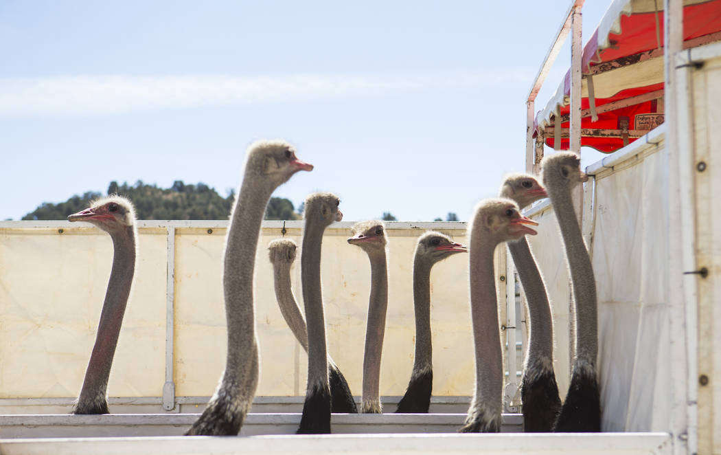 Ostriches wait to race during the first day of the 59th annual International Camel & Ostrich Races in Virginia City on Friday, Sept. 7, 2018. Chase Stevens Las Vegas Review-Journal @csstevensphoto